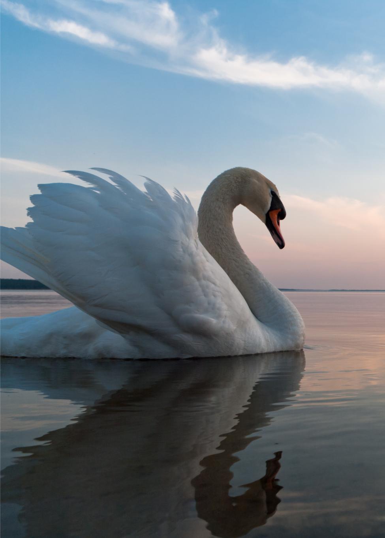 Swan-popup#02